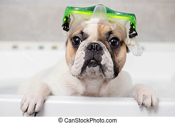 dog and a diving mask - french bulldog takes a bath