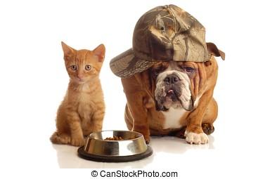 dog and cat at food dish - english bulldog and orange kitten...