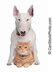 dog and cat - Bull Terrier dog and short-haired main cat...