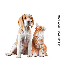 Dog and cat - English beagle and maine coon kitten isolated...