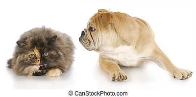 dog and cat - persian kitten hissing at english bulldog puppy with reflection on white background