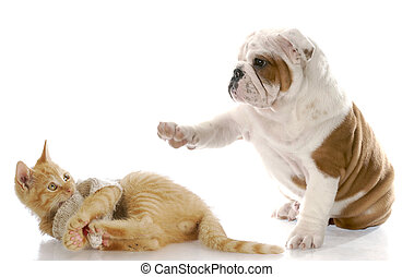 dog and cat fight - cute english bulldog puppy bullying...
