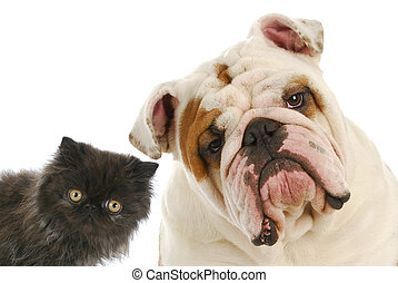 dog and cat - persian kitten and english bulldog looking at...