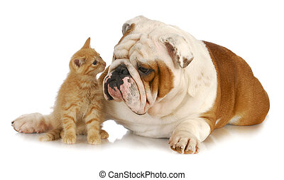 dog and cat - kitten and english bulldog nose to nose with...