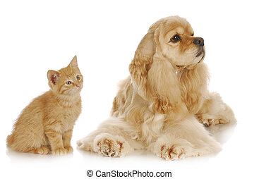 dog and cat - american cocker spaniel and young kitten...