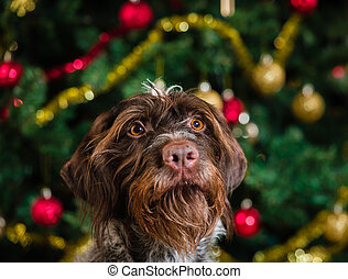 Adult German wirehaired pointer, Christmas tree on background, horizon format