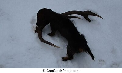 Dog and deer antler - Dachshund and deer antlers