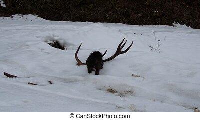 Dog and deer antler - Dachshund and deer antlers
