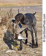 Dog and Duck - Drahthaar Hunting dog and a Mallard Drake