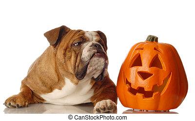 dog and halloween pumpkin - english bulldog sitting beside a...