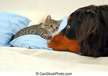 Dog and kitten playing on bed