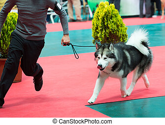 Dog and man at exhibition - XIX national dog exhibition of Catalonia in Vic