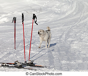 Dog and skiing equipment on ski slope at nice day. Caucasus...