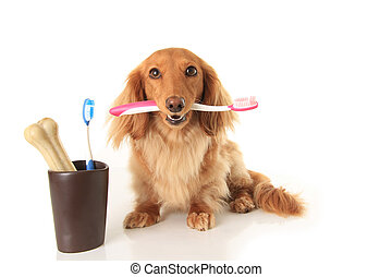 Dog and tooth brush - Dachshund dog holding a toothbrush.