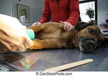 dog and veterinary - veterinary surgeon treats a dog