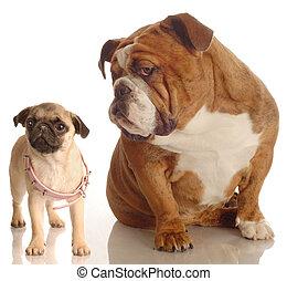dog annoyed with puppy - english bulldog annoyed with pug...
