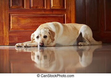 Dog at home - Labrador retriever is lying in door of the ...