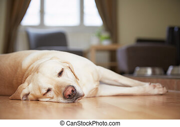 Dog at home - Yellow labrador retriever is waiting at home.