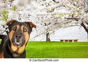 Dog At Park With Cherry Blossoms