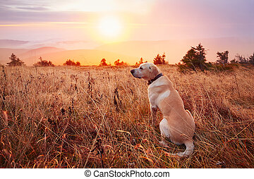 Dog at the sunset - Yellow labrador retriever on the trip in...