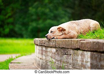 dog - Australian Cattle Dog