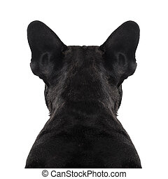 dog back torso - french bulldog dog looking straight, from ...