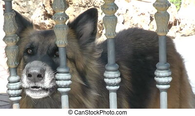 A Sherman Shepard barking from behind a fence.