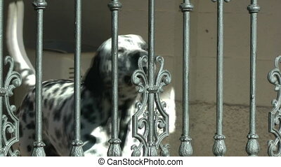 Dog Barking - Dalmatian dog breed barking behind a fenced...