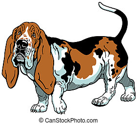 basset hound - dog basset hound breed , image isolated on...