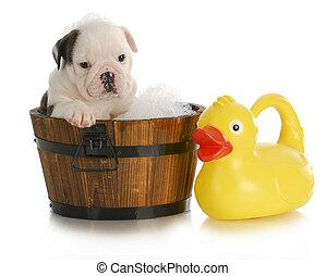 dog bath - english bulldog puppy sitting in tub with soap...