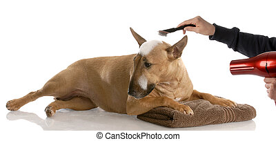 dog bath time - bull terrier getting groomed (red smut...