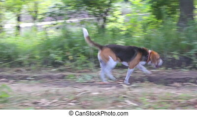 Dog Beagle walks in the woods