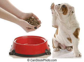 dog begging for food - english bulldog puppy holding paw up ...