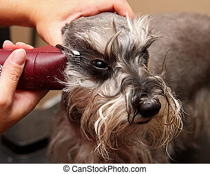 dog being groomed - shaving a dog