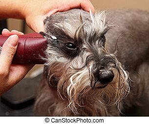 dog being groomed - shaving a dog