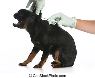 dog being vaccinated