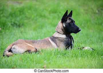 belgian malinois - dog, belgian malinois lies on grass