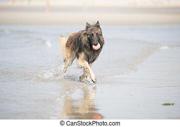 Dog, Belgian Shepherd Tervuren, running in the ocean