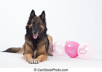 Dog, Belgian shepherd Tervuren, with pink balloons, isolated
