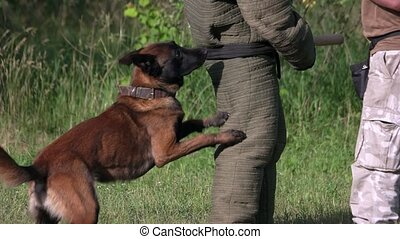 Dog biting and releasing. Dog is biting different parts of a...