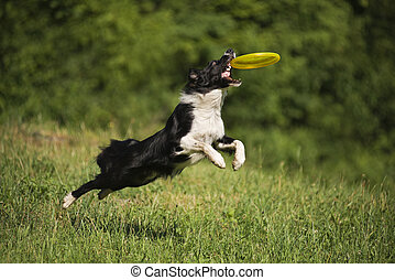 Dog - Border collie dog catching the frisbee on the green...