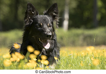 Dog, Border Collie, headshot