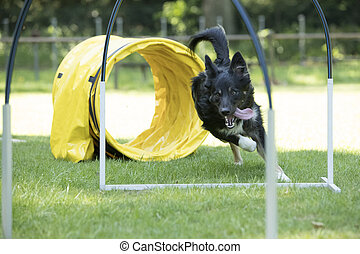 Dog, Border Collie, running agility hoopers