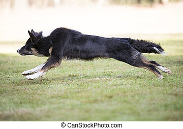 Dog, Border Collie, running, side view