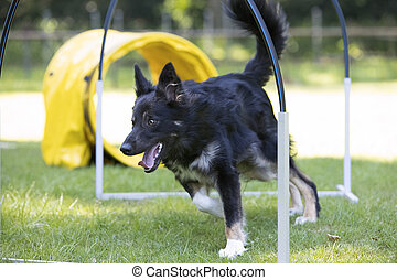 Dog, Border Collie, running through hoopers, agility