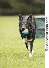 Dog, Border Collie, running