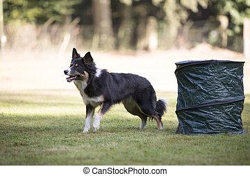 Dog, Border Collie, training hoopers
