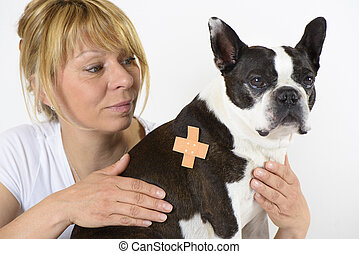 dog Boston Terrier at veterinarian