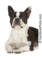 dog boston terrier isolated on white background - dog boston...