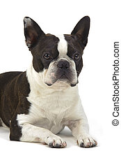 dog boston terrier